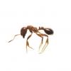 ヒアリ(火蟻)を名古屋港で発見?見分け方と刺された時の対処方法